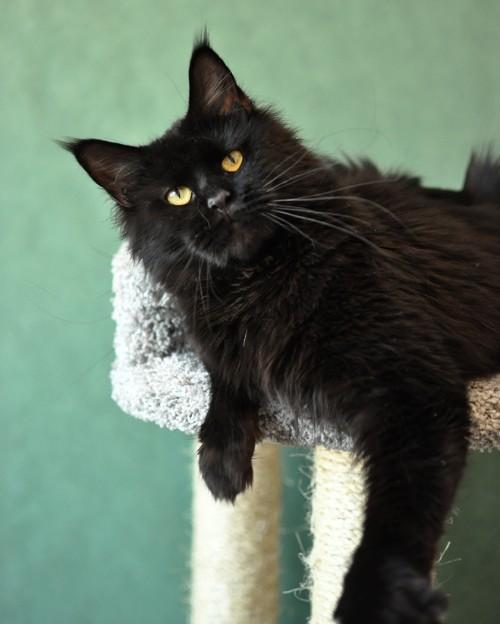 кошка из питомника