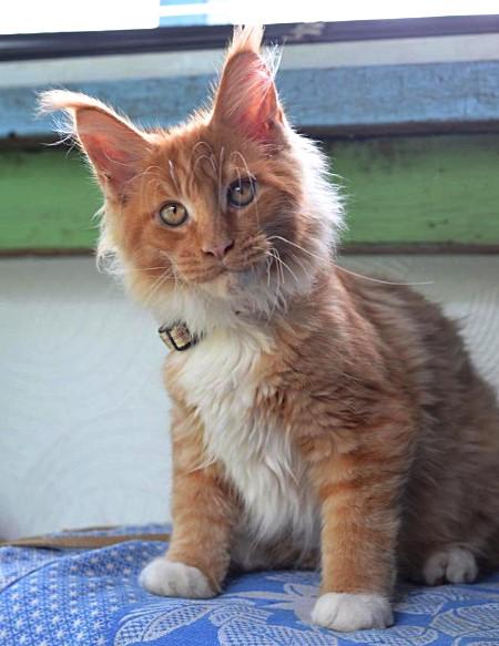 Кот питомника Мегакун